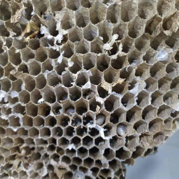 Mọi người cho mình hỏi nhộng ong vò vẽ có ngâm rượu được ko vậy