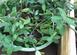 E có cây Thạch Anh ai cần e tặng cho mỗi người 10 đến 20 cây về ương trồng