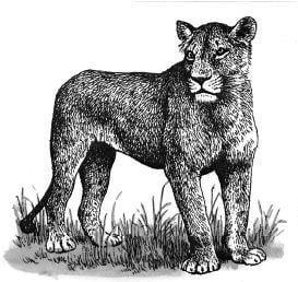 Có phải sư tử đực lười, sư tử cái chăm?