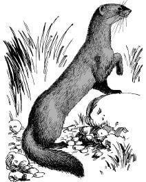 Chồn sóc là loài thú có lợi hay có hại?