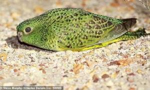 Vẹt đêm, loài động vật từng bị cho đã tuyệt chủng xuất hiện trở lại ở Úc