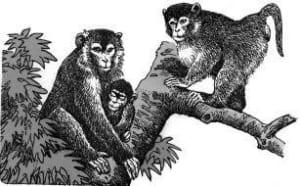 Khi thấy khỉ macaca, tại sao không được nhìn chăm chú vào mắt của chúng?