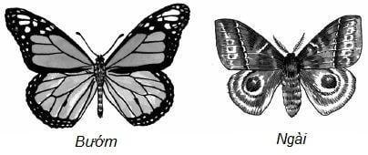 Làm thế nào để phân biệt được con bướm và con thiêu thân?