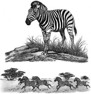 Những sọc vằn trên thân ngựa vằn có tác dụng gì?