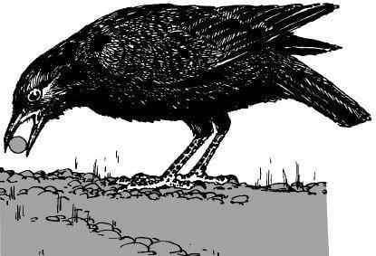 Rốt cuộc quạ có thông minh hay không?