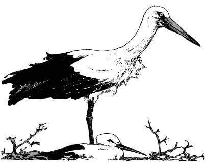 Tại sao các loài chim như cò, hạc lại thường đứng một chân?