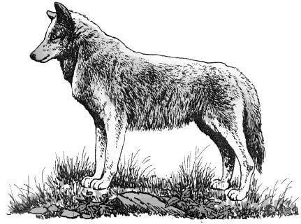 Tại sao các nhà sinh thái học phải đưa ra đề nghị bảo vệ loài sói?