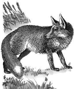 Tại sao cáo lông đỏ rất thích sử dụng mưu kế?