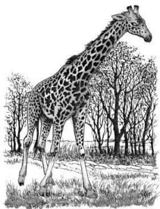 Tại sao cổ của hươu cao cổ lại rất dài?