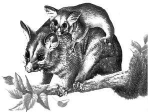 Tại sao chuột cõng lại có thể giả chết như thật?