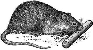 Tại sao chuột thích gặm vật cứng?