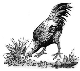 Tại sao gà thích ăn sỏi?