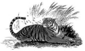 Tại sao hổ thích vẩy nước ướt chứ không thích ngâm mình trong nước?