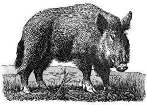 Tại sao lợn thích dũi đất và tường vách?