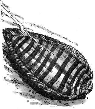 Tại sao mắt của cá thờn bơn có thể mọc ở cùng một bên?
