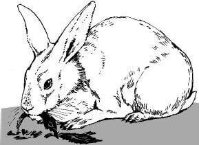 Tại sao mắt của thỏ trắng có màu đỏ?