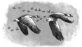 Tại sao ngỗng trời khi bay xa thường xếp thành hình mũi tên hoặc dàn hàng ngang?