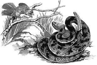 Tại sao rắn đuôi kêu khi bò có thể phát ra tiếng kêu?