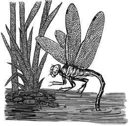 Tại sao trên cánh của chuồn chuồn có mắt?