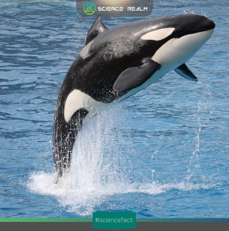 Cá voi sát thủ (Killer whale) vẫn hay bị lầm tưởng rằng chúng thuộc dòng họ cá voi bởi cái tên của nó