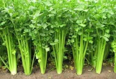 Rau cần tây – Tác dụng bất ngờ của rau cần tây đối với sức khỏe